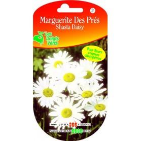 Chrysantheme Des Prés Shasta Daisy