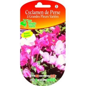 Cyclamen De Perse Grandes Fleurs Variées