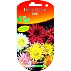 Dahlia Cactus Varié