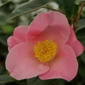 Camellia japonica 'Paul Plantiveau'