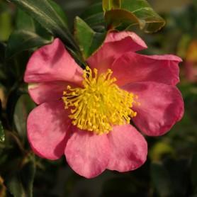 Camélia d' automne - Camellia sasanqua 'Rose de Segur'