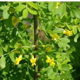 Caragan arborescent - Caragana arborescens
