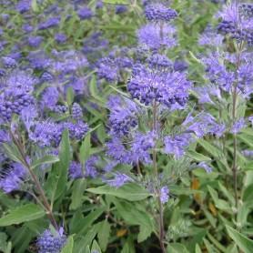 Barbe-bleue - Caryopteris clan. 'Heavenly Blue'
