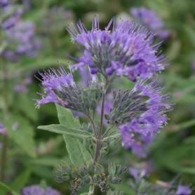 Barbe-bleue - Caryopteris clan. 'Kew Blue'