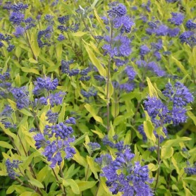 Barbe-bleue - Caryopteris clan. 'Worcester Gold'