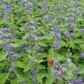 Barbe-bleue - Caryopteris clandonensis