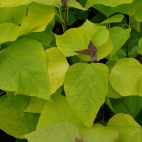 Catalpa doré - Catalpa bignonioides 'Aurea'