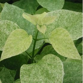 Catalpa - Catalpa speciosa 'Pulverulente'