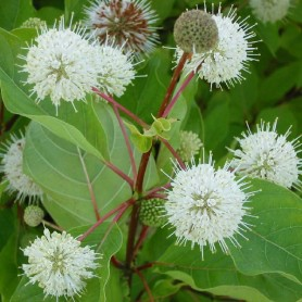 Bois bouton - Cephalanthus occidentalis