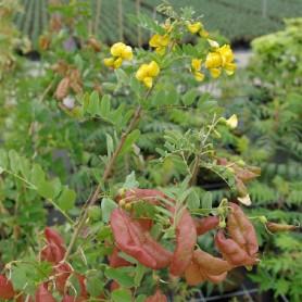 Baguenaudier commun - Colutea arborescens