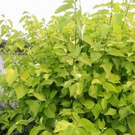 Cornouiller blanc - Cornus alba 'Aurea'