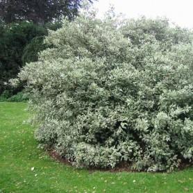 Cornouiller blanc - Cornus alba 'Elegantissima'