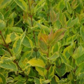 Cornouiller blanc - Cornus alba 'Gouchaultii'