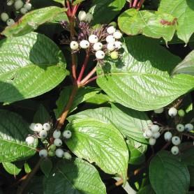Cornouiller blanc - Cornus alba 'Sibirian Pearls'
