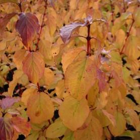 Cornouiller sanguin - Cornus sanguinea 'Winter Beauty'