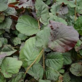 Noisetier - Corylus maxima 'Purpurea'