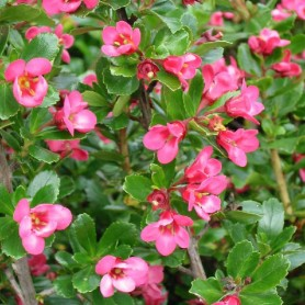 Escallonia 'Donard Star'