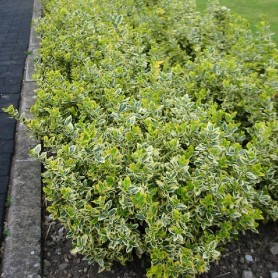 Euonymus fort.'Emerald'n Gold'