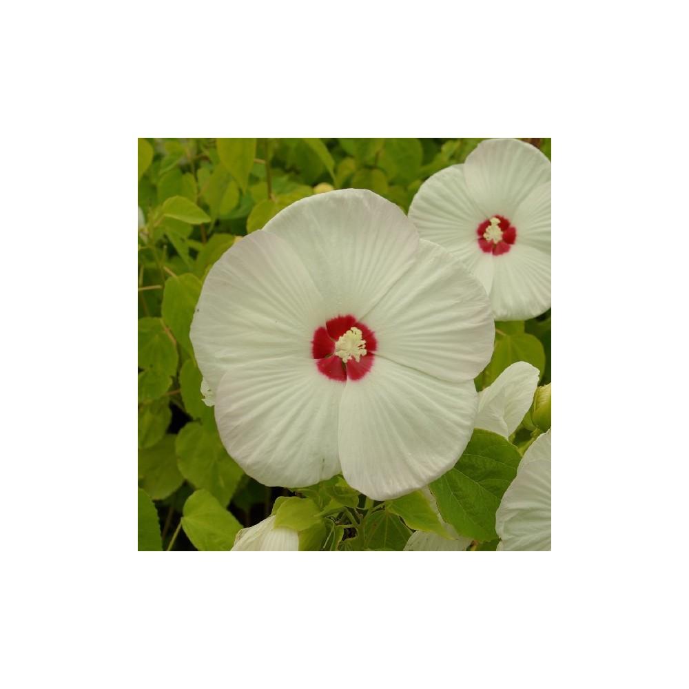 Hibiscus moscheutos blanc coeur rouge for Engrais hibiscus exterieur