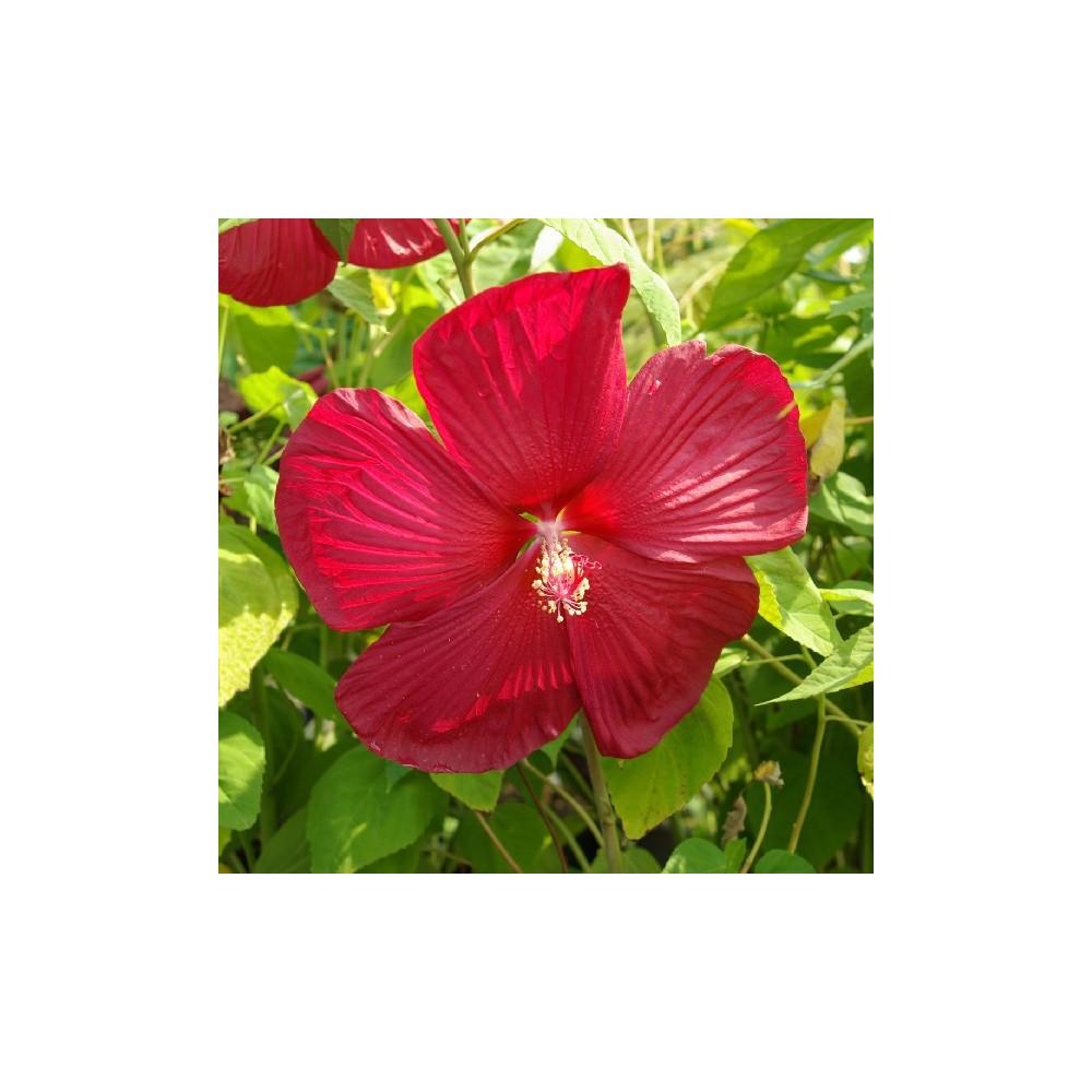 Hibiscus moscheutos rouge for Hibiscus entretien exterieur