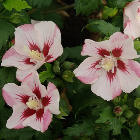 Hibiscus syriacus 39 hamabo 39 for Entretien hibiscus exterieur