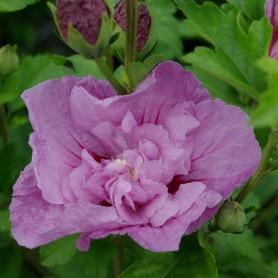 Ketmie de Syrie - Hibiscus syriacus 'Lavender Chiffon' (R)
