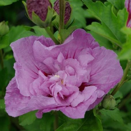 Ketmie de syrie hibiscus syriacus 39 lavender chiffon 39 r for Engrais hibiscus exterieur