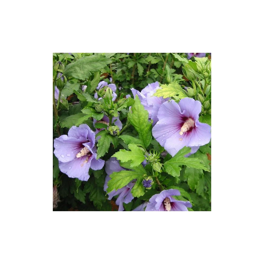 Ketmie de syrie hibiscus syriacus 39 marina 39 for Engrais hibiscus exterieur