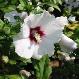 Ketmie de Syrie - Hibiscus syriacus 'Monstrosus'