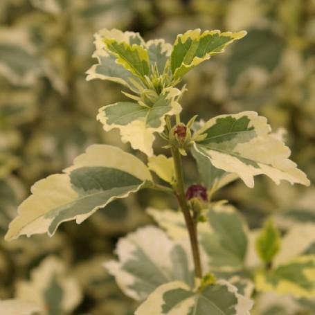 Ketmie de syrie hibiscus syriacus 39 purp variegatus 39 for Engrais hibiscus exterieur