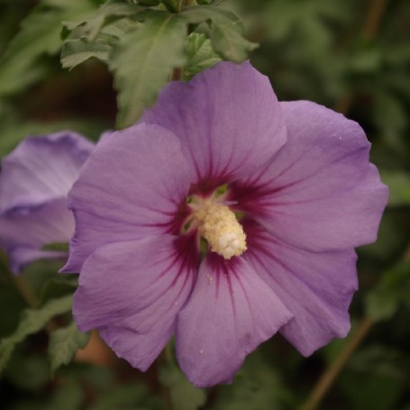 Ketmie de syrie hibiscus syriacus 39 ultramarine 39 r for Engrais hibiscus exterieur
