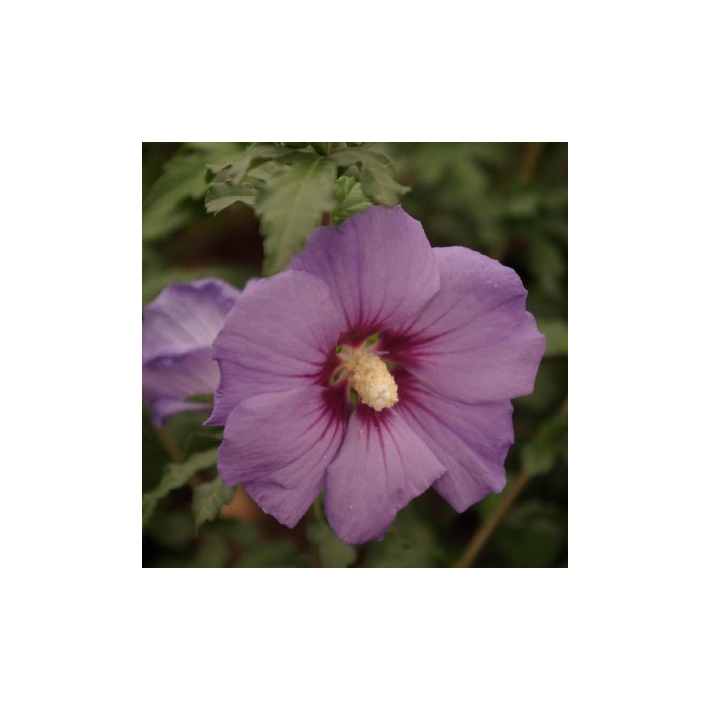 Ketmie de syrie hibiscus syriacus 39 ultramarine 39 r for Entretien hibiscus exterieur