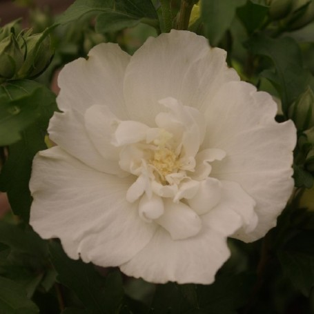 Ketmie de syrie hibiscus syriacus 39 white chiffon 39 r for Engrais hibiscus exterieur