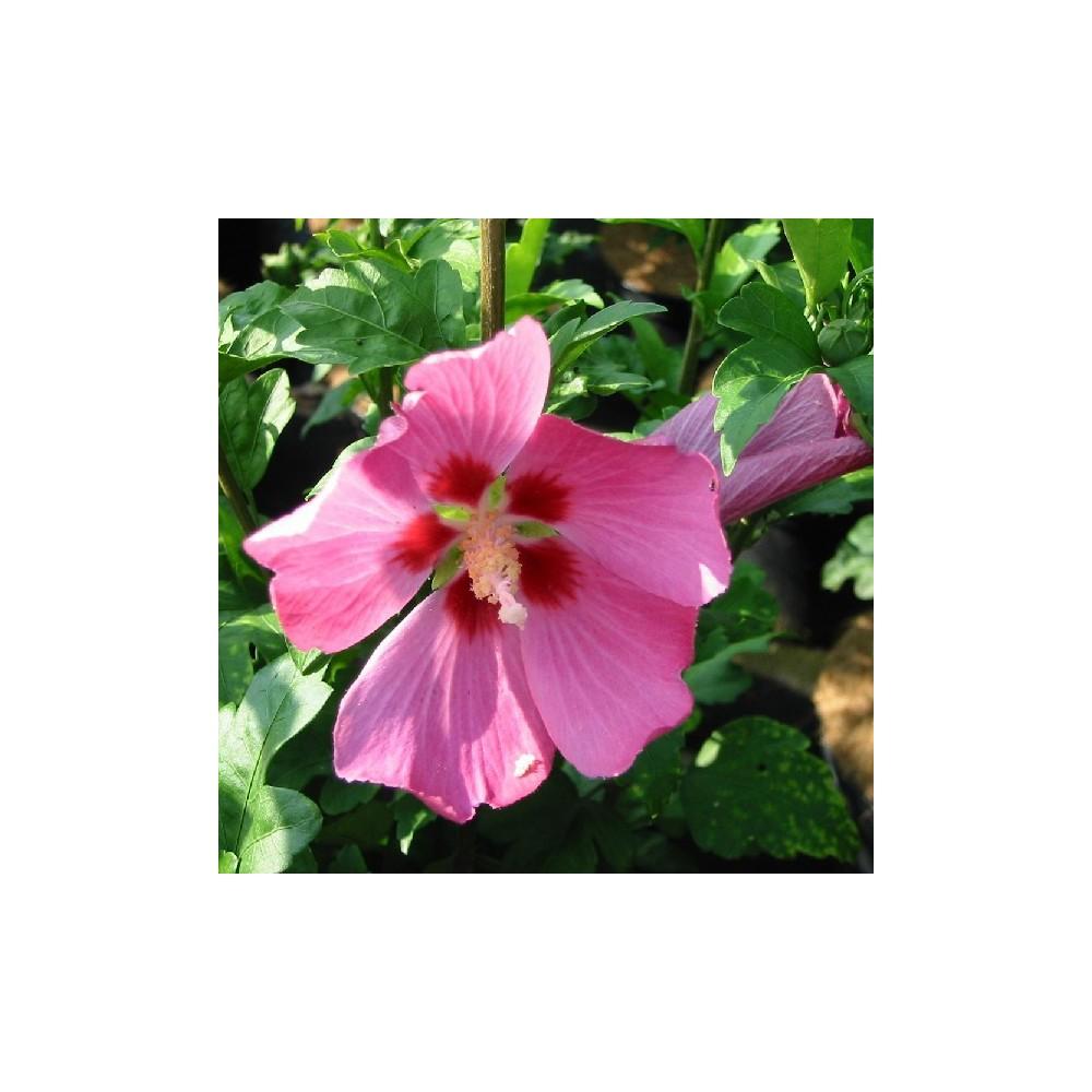 Ketmie de syrie hibiscus syriacus 39 woodbridge 39 for Engrais hibiscus exterieur