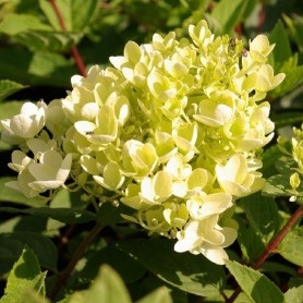 Hydrangée paniculé - Hydrangea paniculata 'Grandiflora'