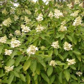 Hydrangée paniculé - Hydrangea paniculata 'Tardiva'