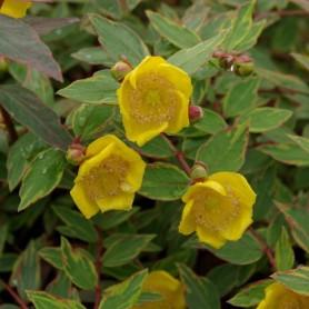 Millepertuis - Hypericum moserianum 'Tricolor'