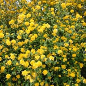 Corête du Japon - Kerria japonica 'Pleniflora'