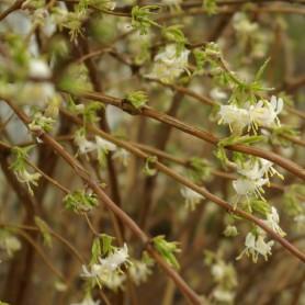 Chèvrefeuille - Lonicera fragrantissima