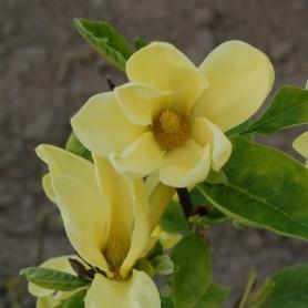 Magnolia (x) 'Daphne'