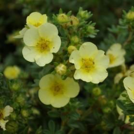 Potentille arbustive - Potentilla frut. 'Primrose Beauty'