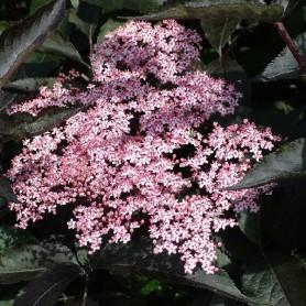 Sureau - Sambucus nigra 'Black Beauty' (R) 'Gerda'