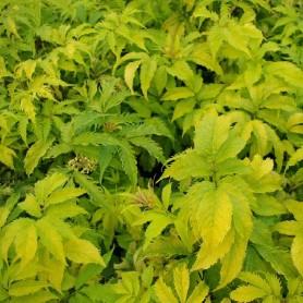 Sureau rouge - Sambucus racemosa 'Plumosa Aurea'