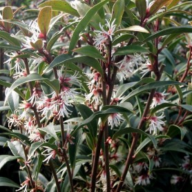 Sarcocoque de Hooker - Sarcococca hookeriana var digyna