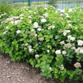 Spirée - Spirea betulifolia