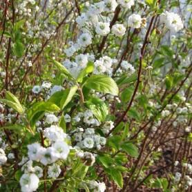 Spirée - Spirea prunifolia 'Plena'