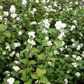 Symphorine - Symphoricarpos albus 'White Hedge'