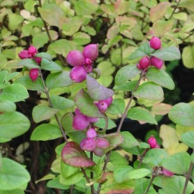 Symphorine - Symphoricarpos doorenbosii 'Magic Berry'