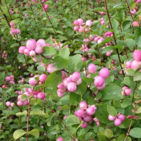 Symphorine - Symphoricarpos doorenbosii 'Mother of Pearl'