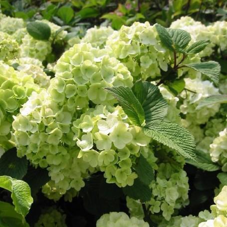 Boule de neige viburnum plicatum 39 rotundifolium 39 - Boule de neige plante ...